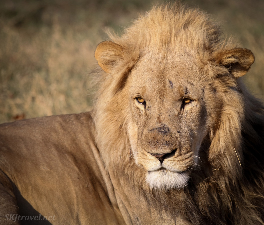 Adult male lion in the early golden dawn light. Khwai Concessions, Botswana.