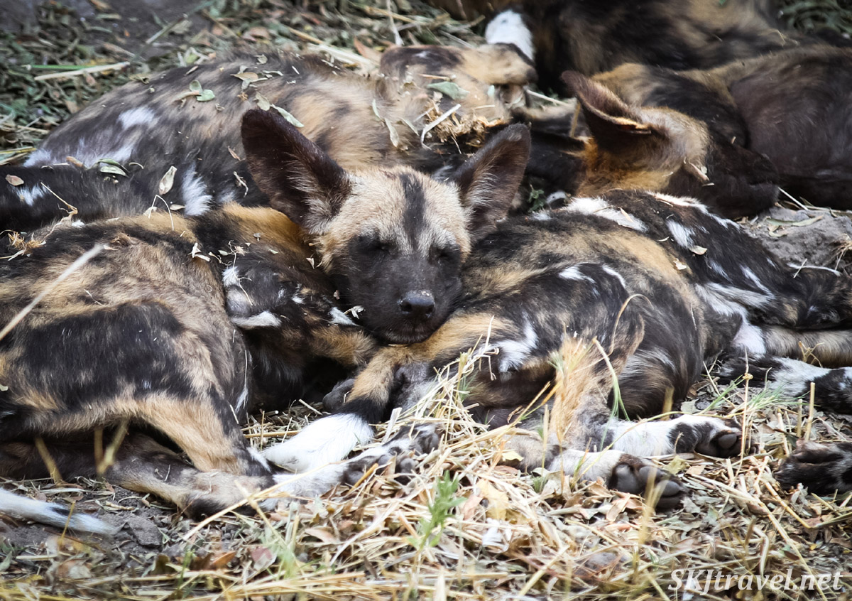 African wild dog, or painted dog, puppies sleeping beneath a tree in a puppy pile, Khwai Concessions, Botswana. Okavango Delta.