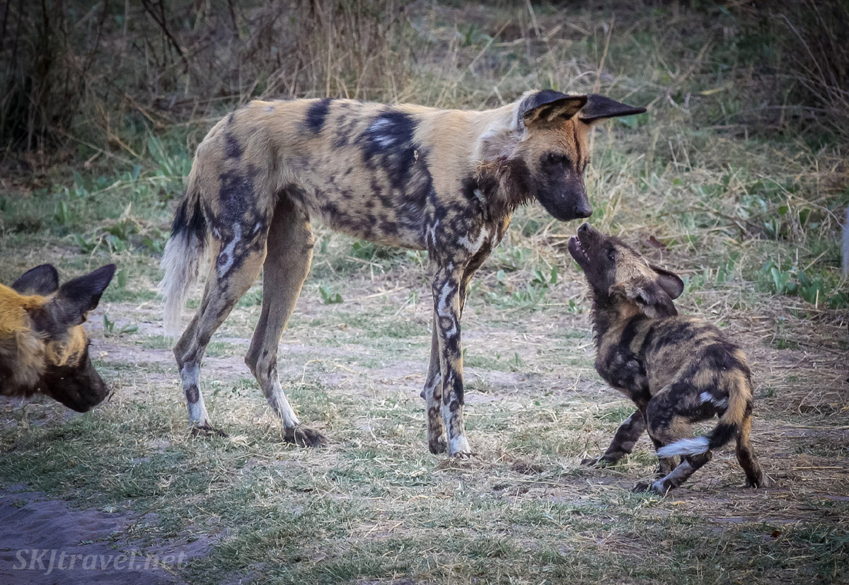 African wild dog, or painted dog, mom and pup having a conversation. Khwai Concessions, Botswana. Okavango Delta.