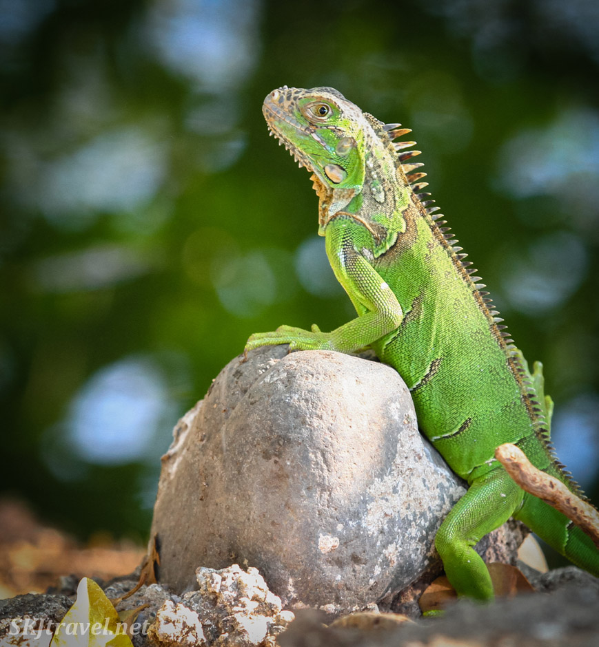 Green female iguana posing on a rock. Popoyote Lagoon crocodile reserve, Playa Linda, Ixtapa, Mexico.