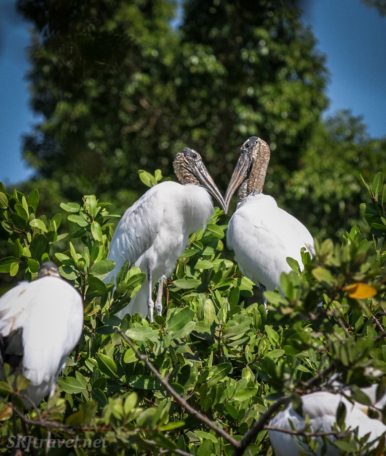 Wood storks forming a heart with their bills. Sitting high in the tree branches of Popoyote Lagoon, Playa Linda, Ixtapa, Mexico.