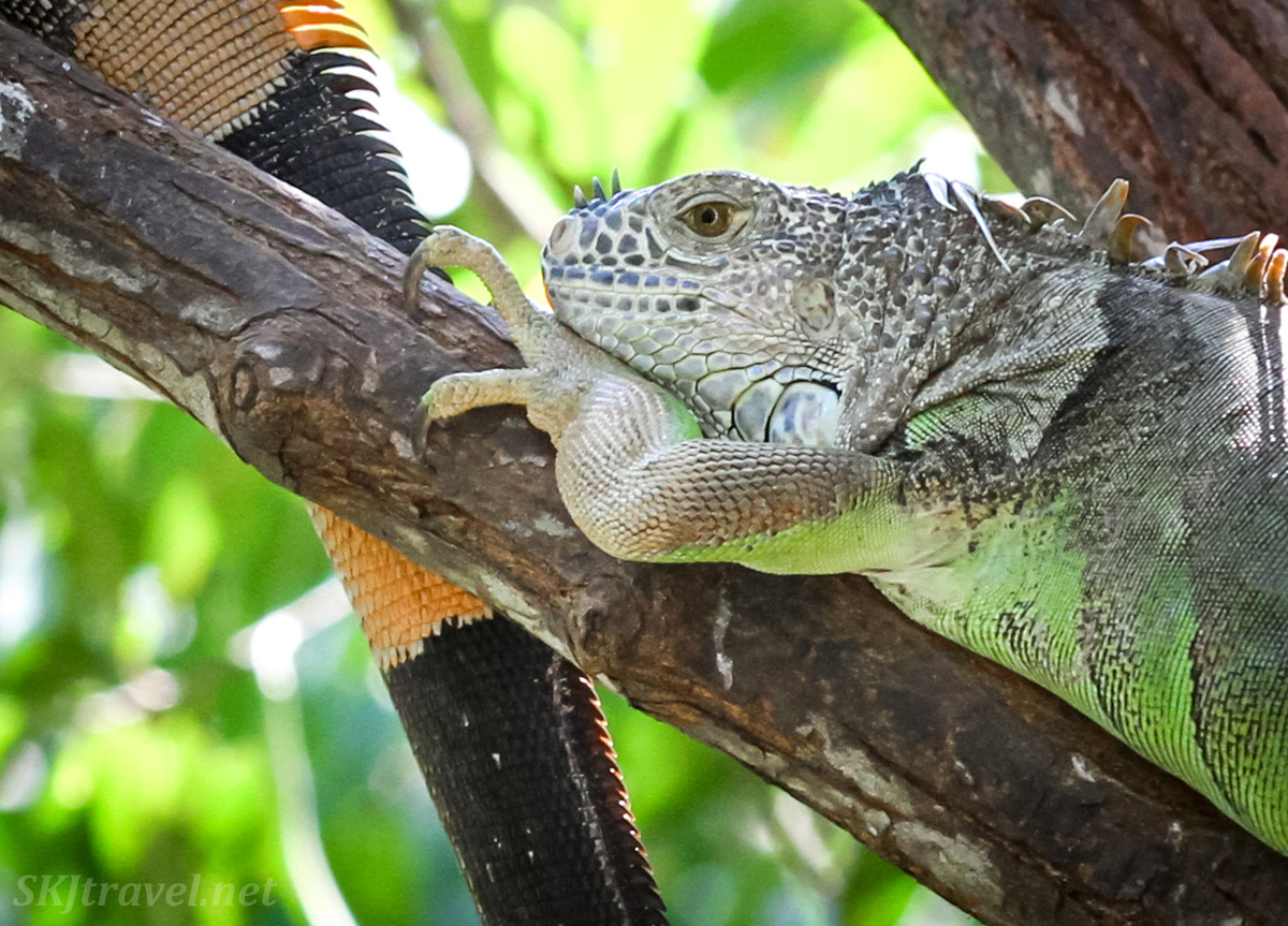 Colorful male iguana lounging on a tree branch, thinking deep thoughts. Popoyote Lagoon crocodile reserve, Playa Linda, Ixtapa, Mexico.