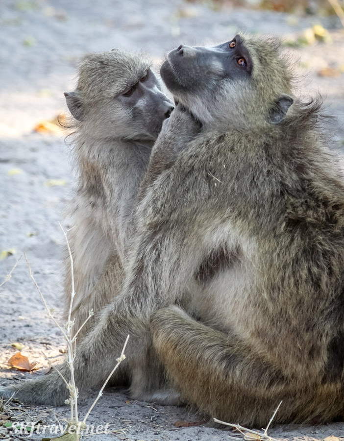 Baboons grooming one another in the shade, Moremi Game Reserve, Botswana.