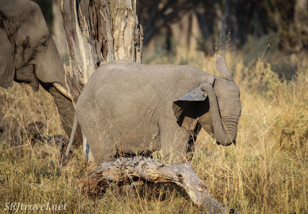 Baby elephant scratching the back of its ear with its trunk. Moremi Game Reserve, Botswana.