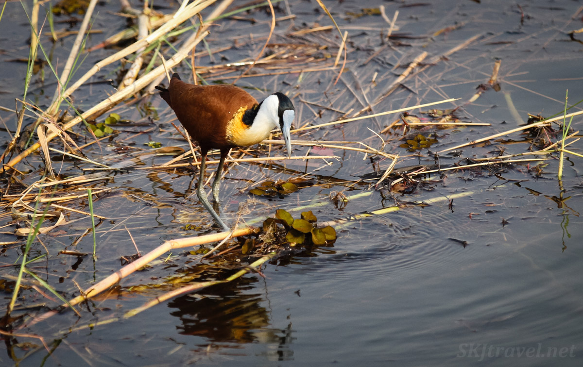 Adult African jacana walking of thin cover of grasses in the waters of Okavango Delta. Moremi, Botswana.