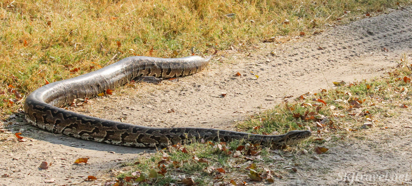 Large rock python crossing the vehicle path in Moremi Game Reserve, Botswana.
