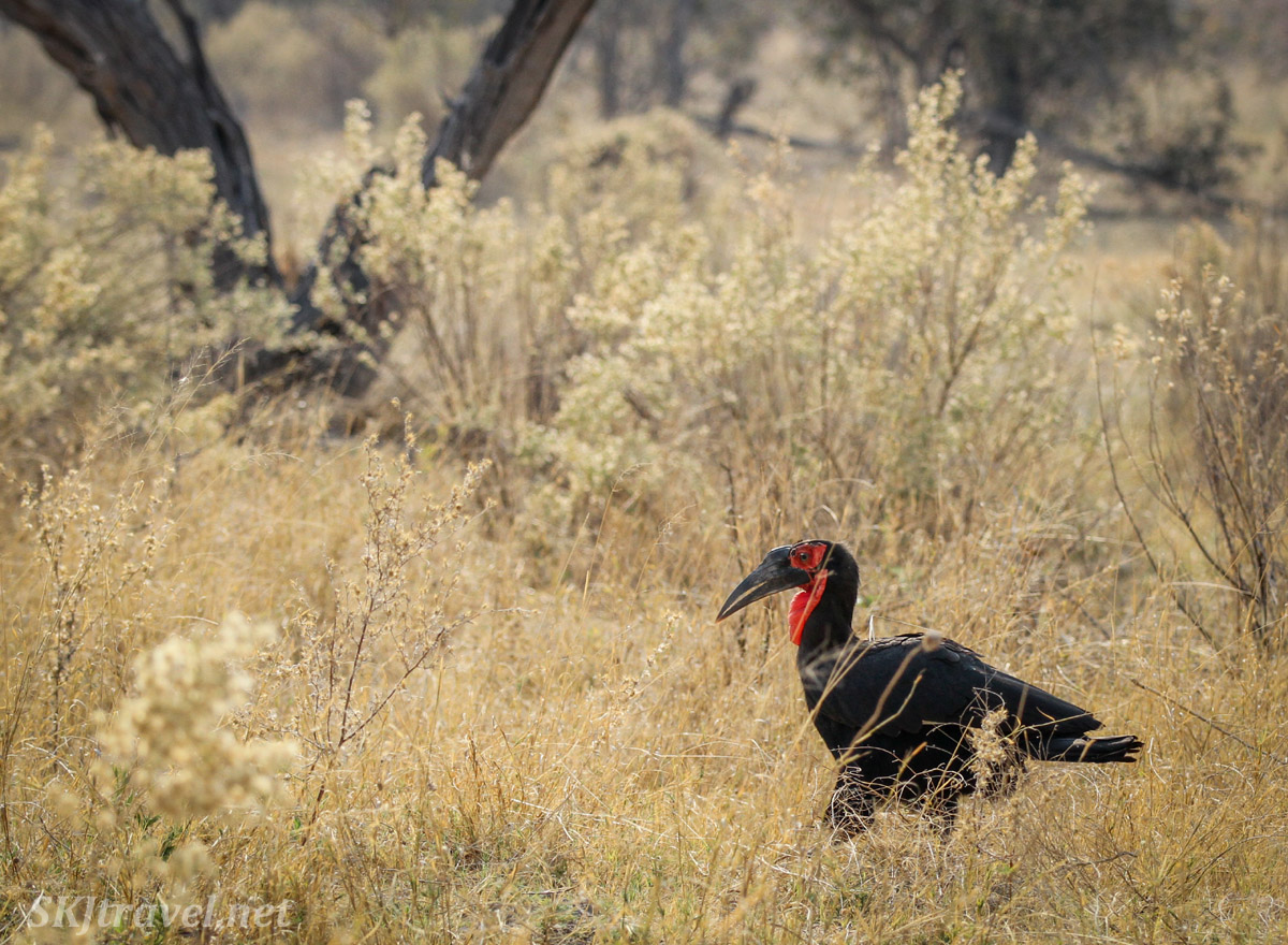 Southern ground hornbill strolling through the tall grass, Moremi Game Reserve, Botswana.