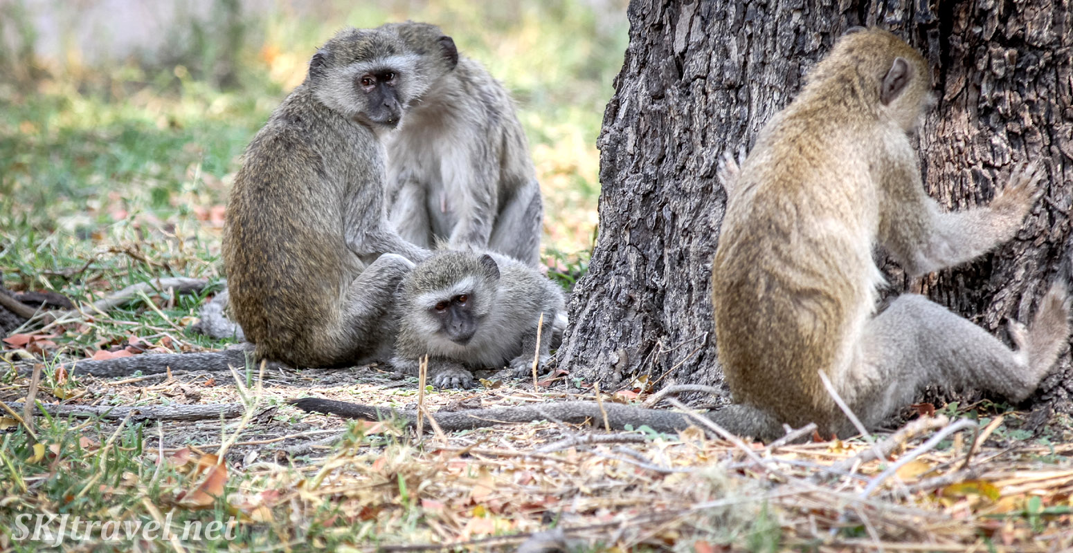 Vervet monkey in time-out against a tree in the woodlands of Moremi Game Reserve, Botswana. Must have been a naughty monkey.