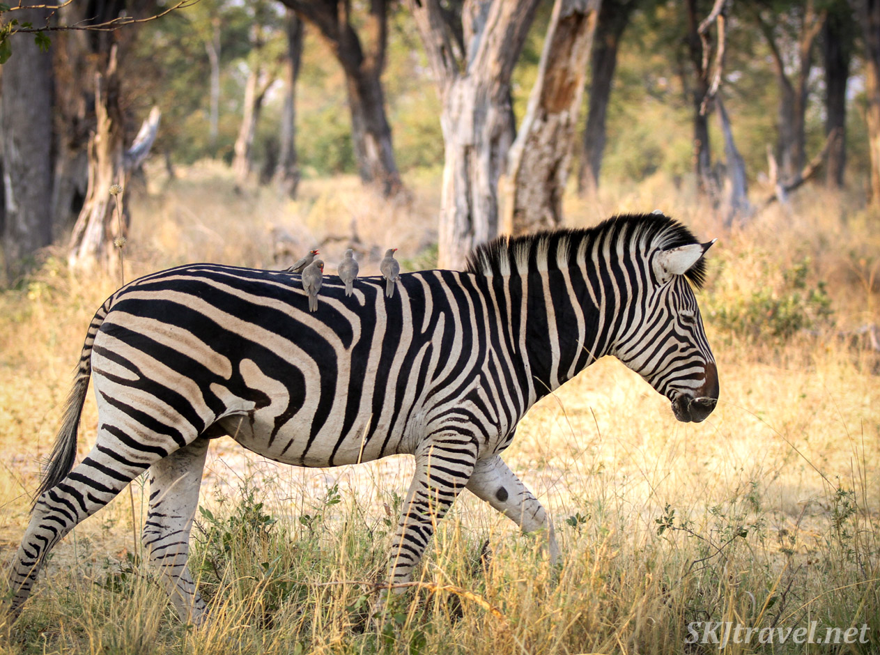 Oxpeckers riding on the back of a zebra walking through the tall woodland grasses in Moremi Game Reserve, Botswana.
