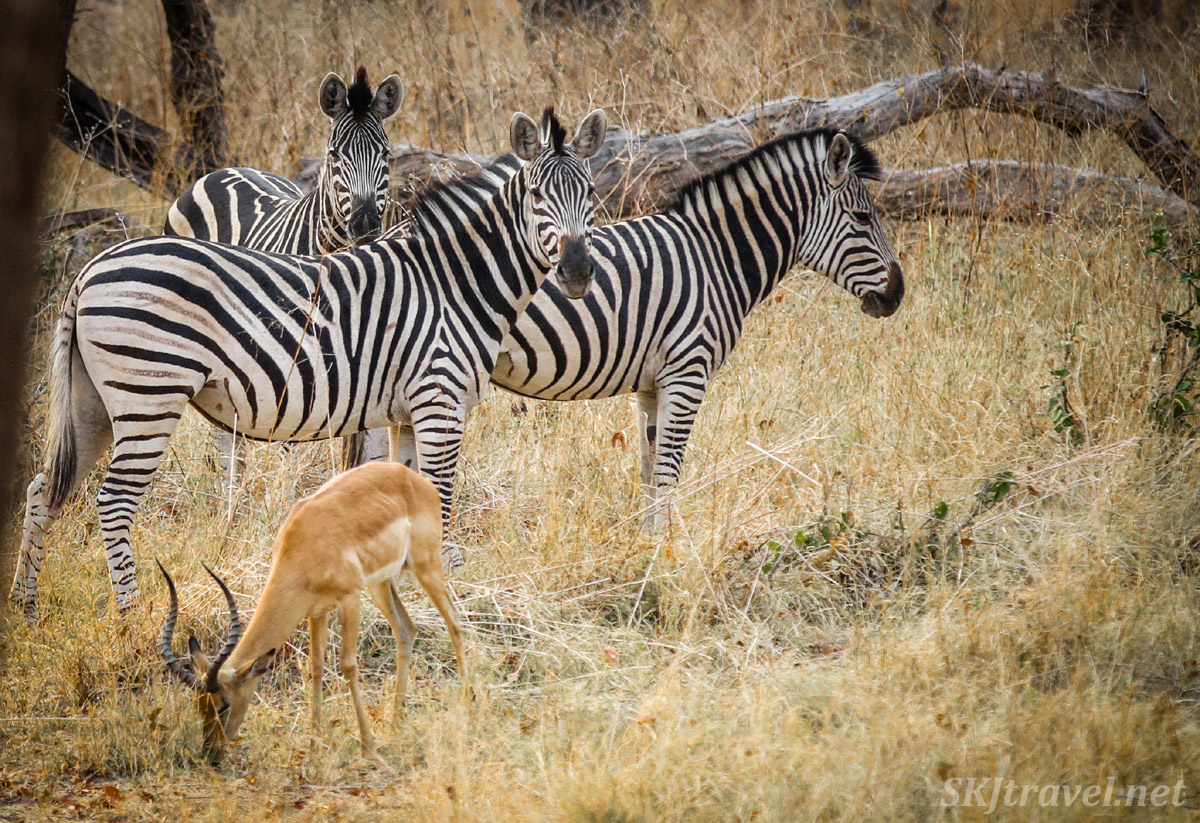 Zebras pausing to rest from frolicking in the woodlands of Moremi Game Reserve, Botswana.