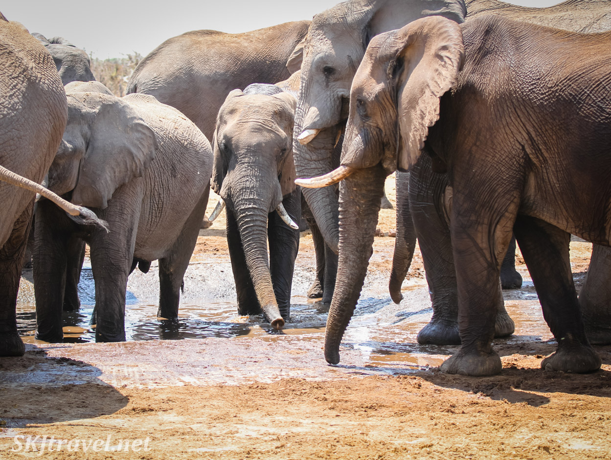 Elephants drinking at a man made water hole in Savuti, Botswana.