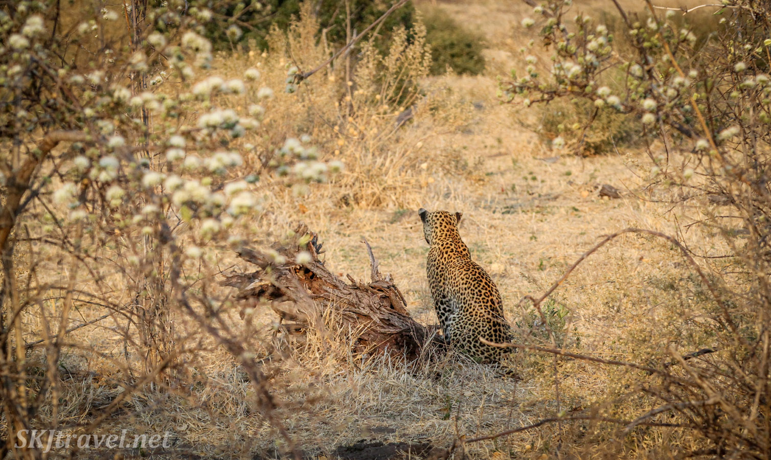 Leopard sits with her back to us, watching an impala Savuti, Botswana.