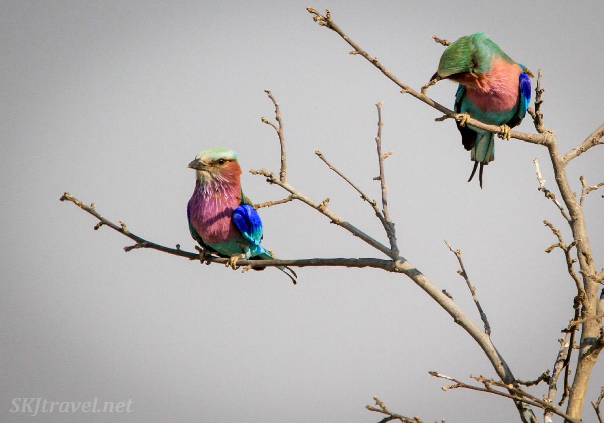 Two lilac breasted rollers perched near each other on branches. Savuti, Botswana.