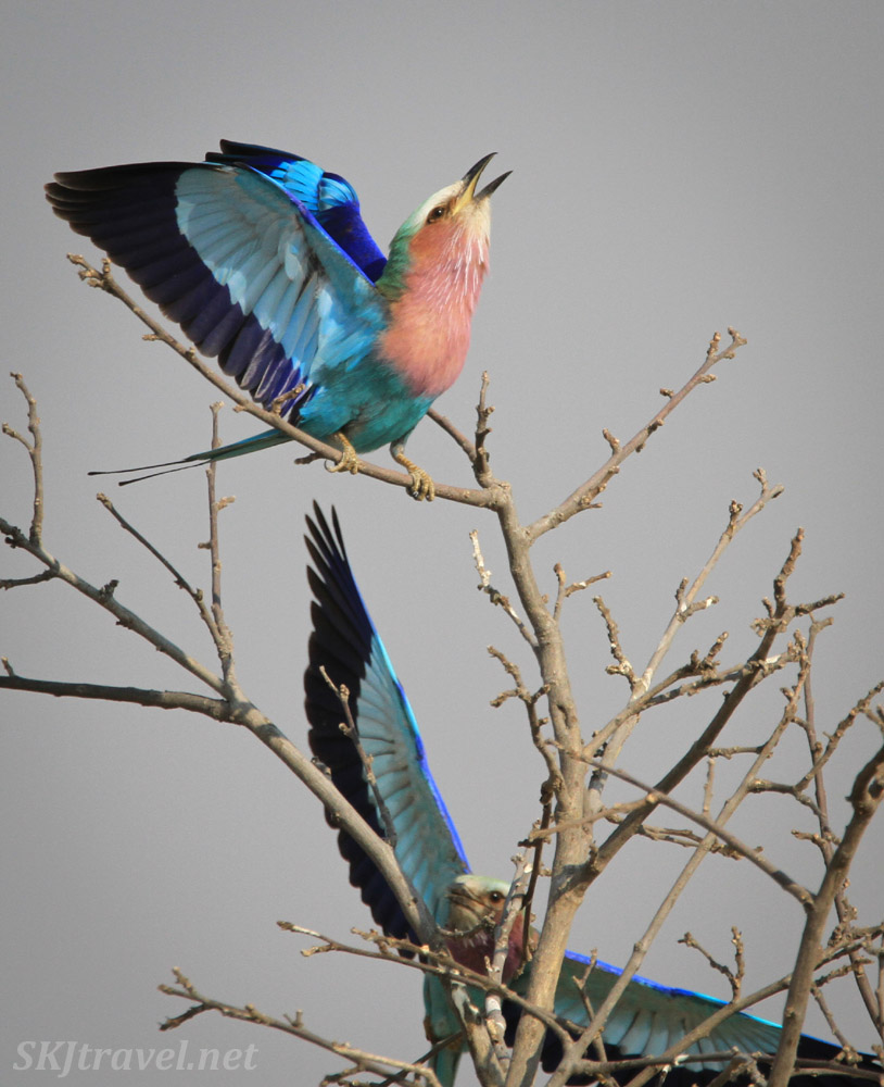 Lilac breasted roller singing from a branch. Savuti, Botswana.