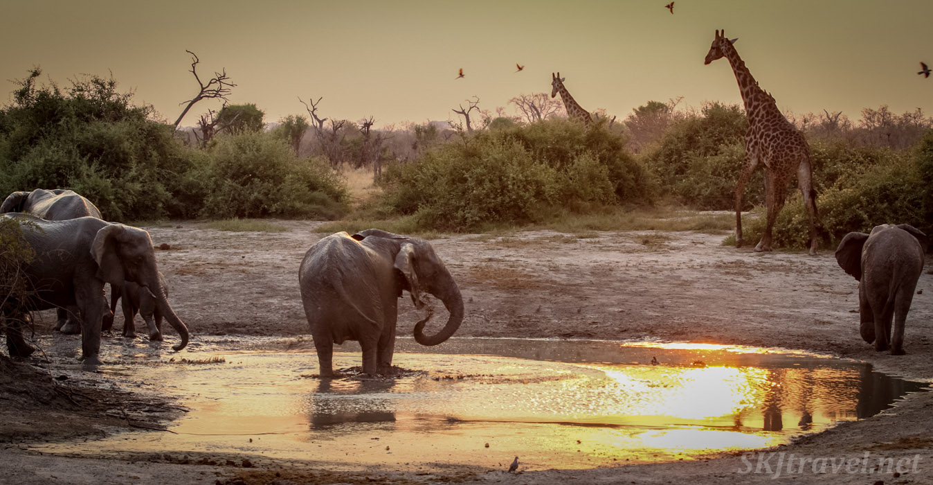 Elephants and giraffes in an ancient and iconic scene at a water hole in Savuti, Botswana.
