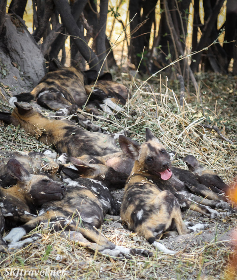 African wild dog puppies sleeping in the shade of a stand of trees. Khwai Concessions, Okavango Delta, Botswana.
