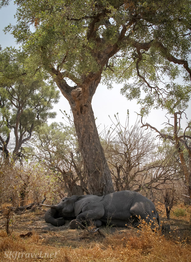 Elephant lying down, sleeping in the shade of a tree. Savuti, Okavango Delta, Botswana.