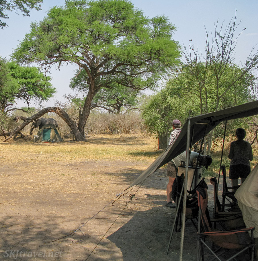 Lunch tent on the right, elephant wandering around camp behind a sleeping tent, Khwai Concessions, Okavango Delta, Botswana.