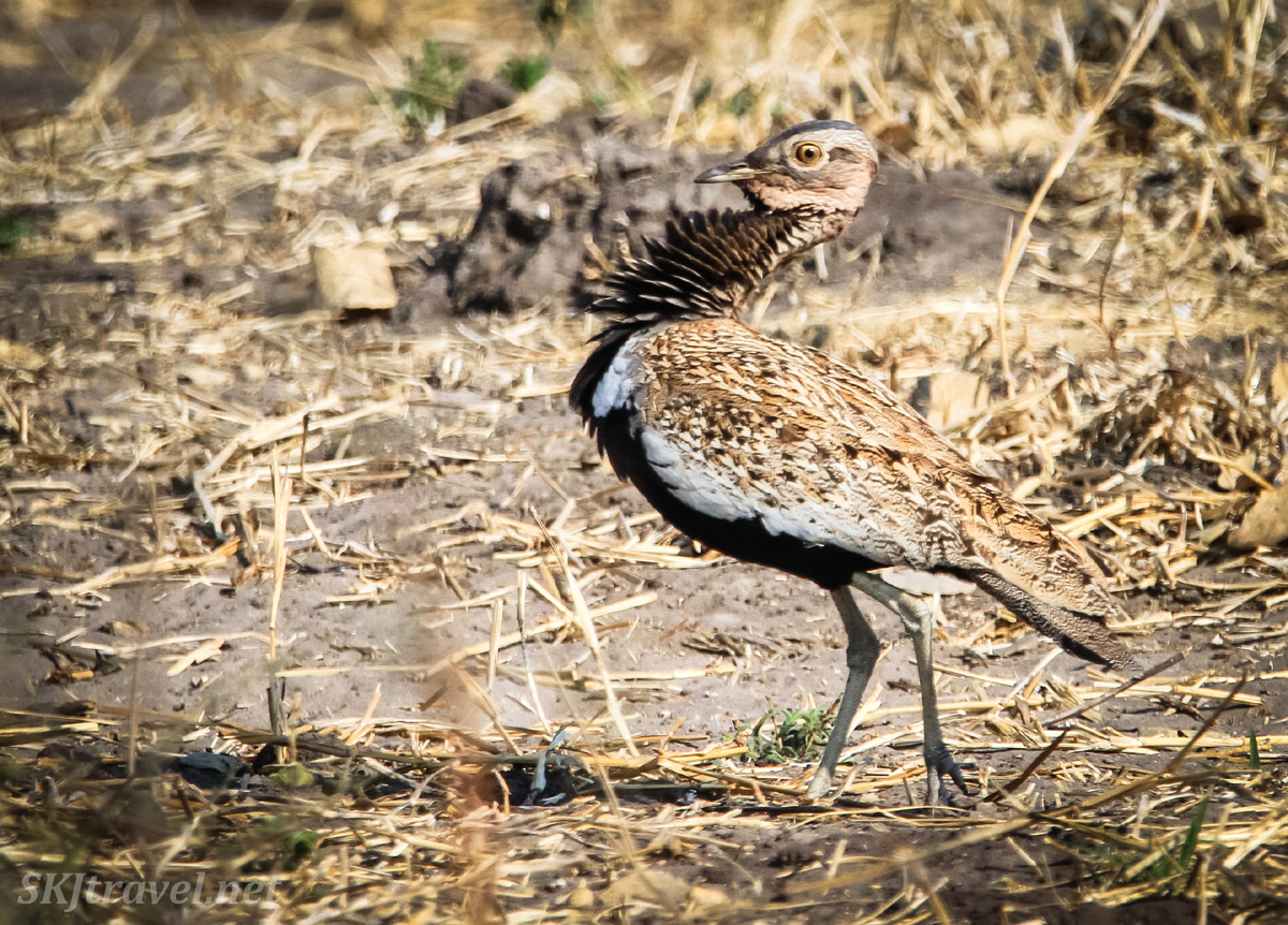 Female korhaan unimpressed with a courting male. Savuti, Botswana.
