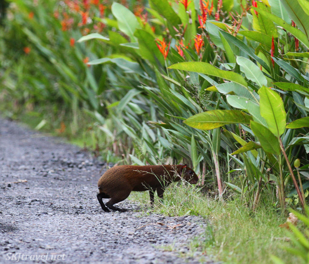 Agouti at Bogarin Trail, La Fortuna, Costa Rica.