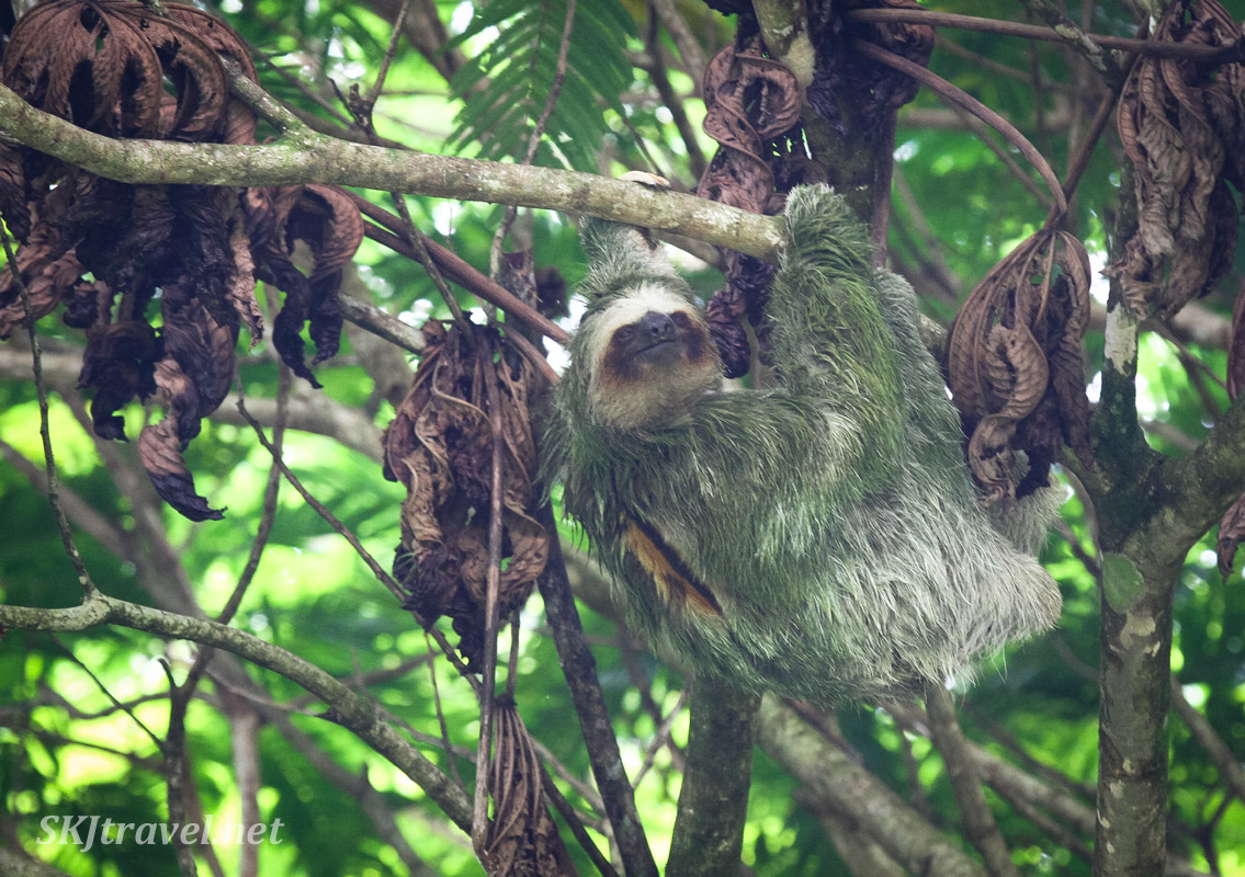 Male three toed sloth along the Bogarin Trail, La Fortuna, Costa Rica.