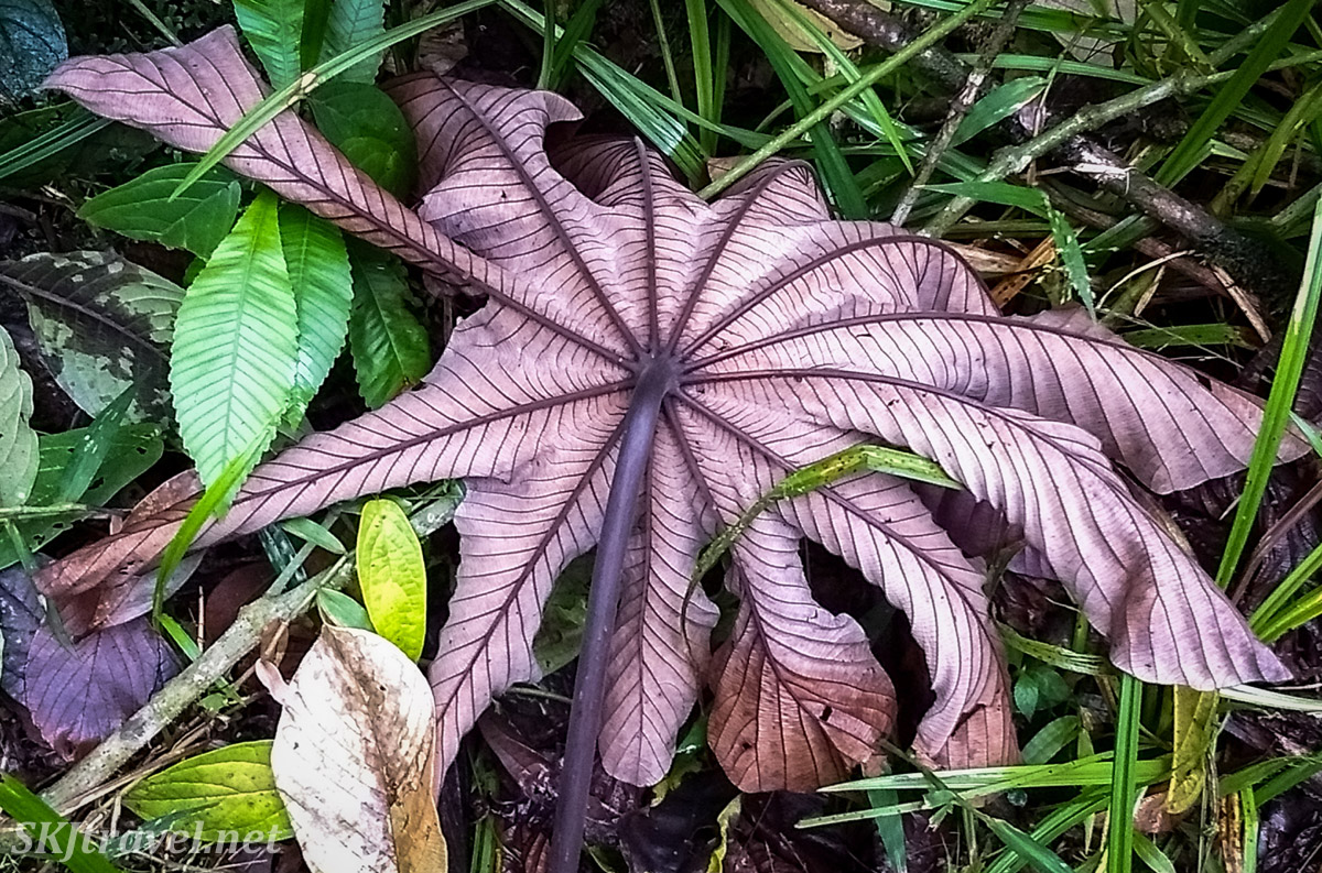 Large leaf, veins and texture, in the rainforest of Costa Rica.