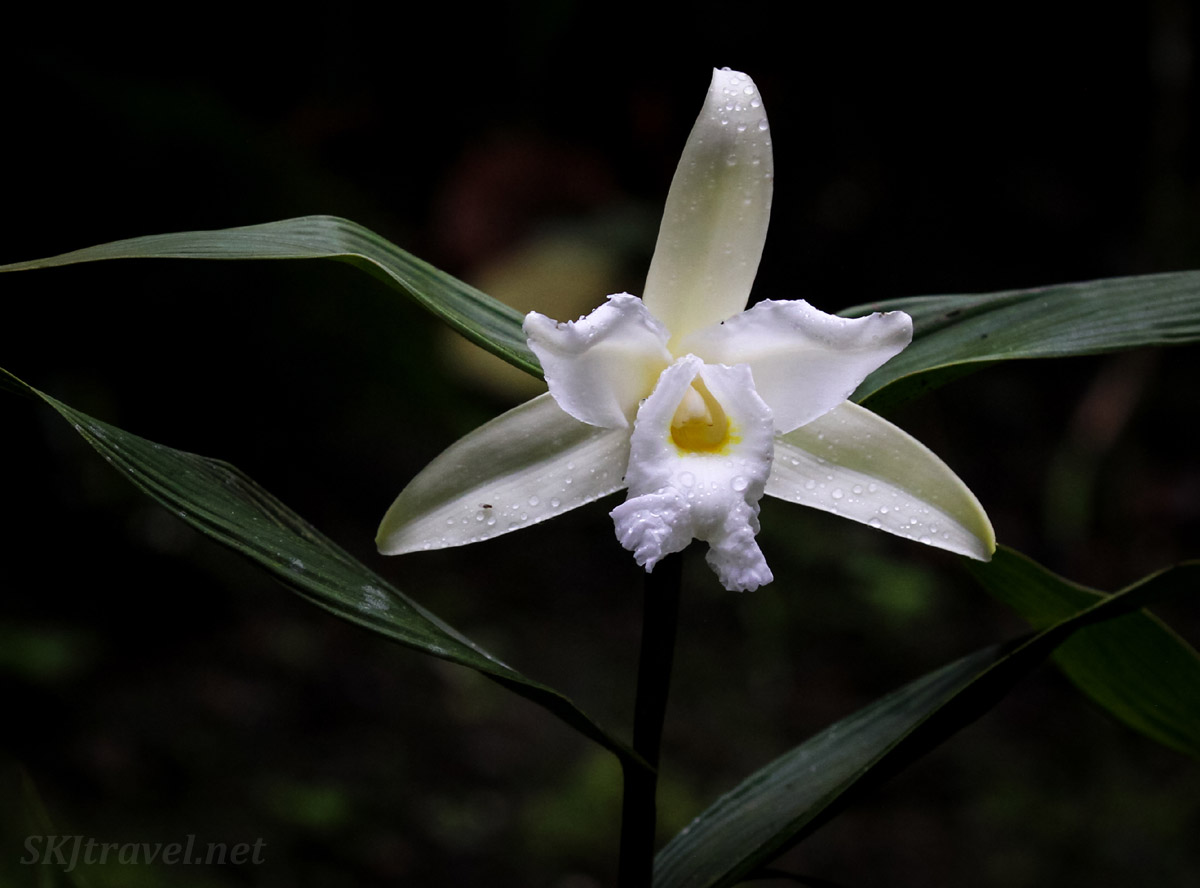 White triangular orchid with raindrops, La Fortuna Waterfall, Costa Rica.