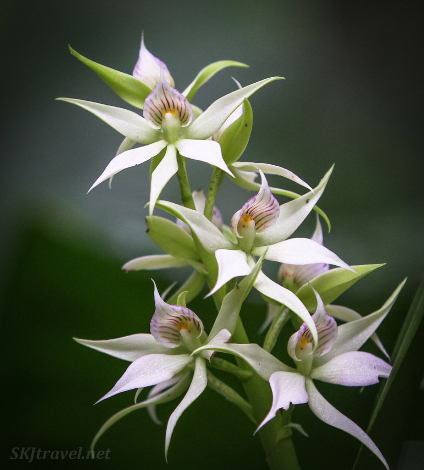 White star-shaped orchids at La Fortuna Waterfall, Costa Rica.