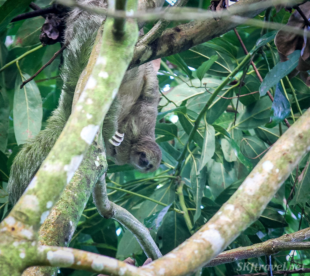 Baby three toed sloth peeking out in the sun from its mom's side. Outside La Fortuna, Costa Rica.