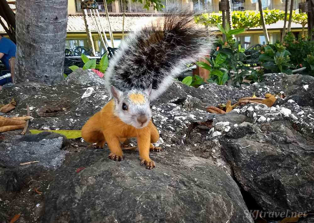 Variegated squirrel near the beach in Tamarindo, Costa Rica.