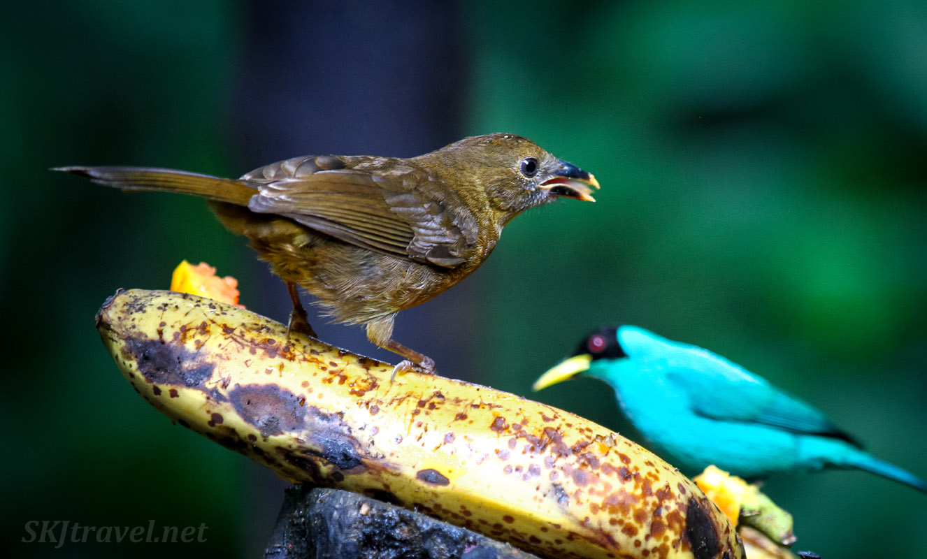 Green honeycreeper and clay-colored thrush, Costa Rica's national bird, sitting on either end of a banana. La Fortuna, Costa Rica.