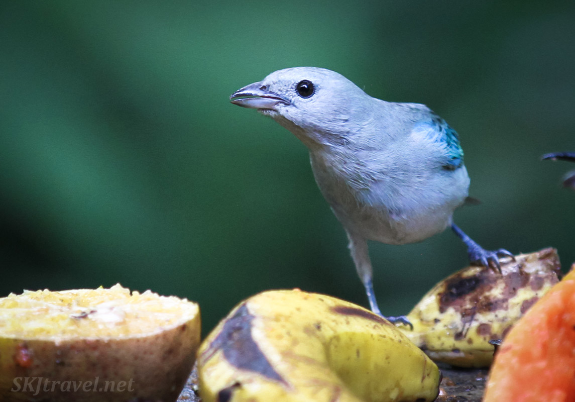 blue-gray tanager, La Fortuna, Costa Rica.