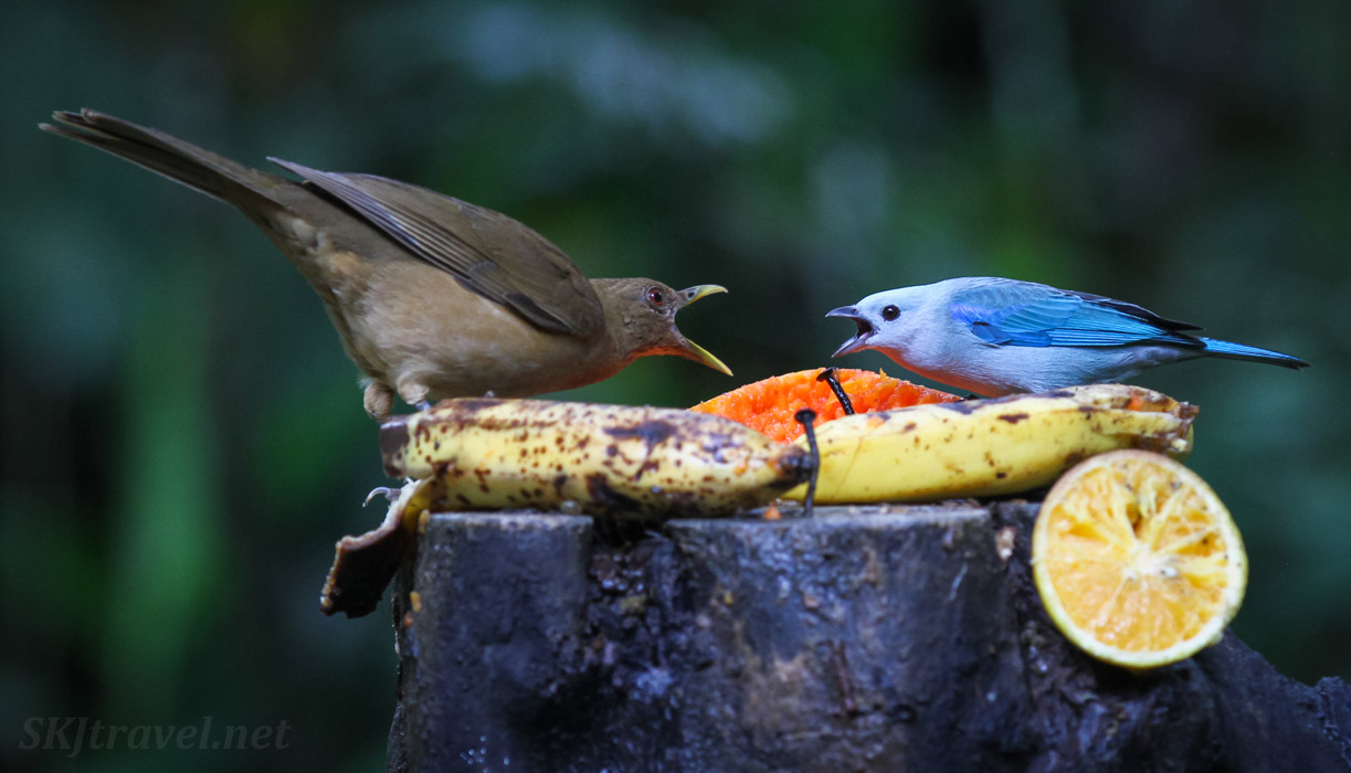 Clay colored thrush and blue gray tanager having a squabble over the bananas at the breakfast table. La Fortuna, Costa Rica.