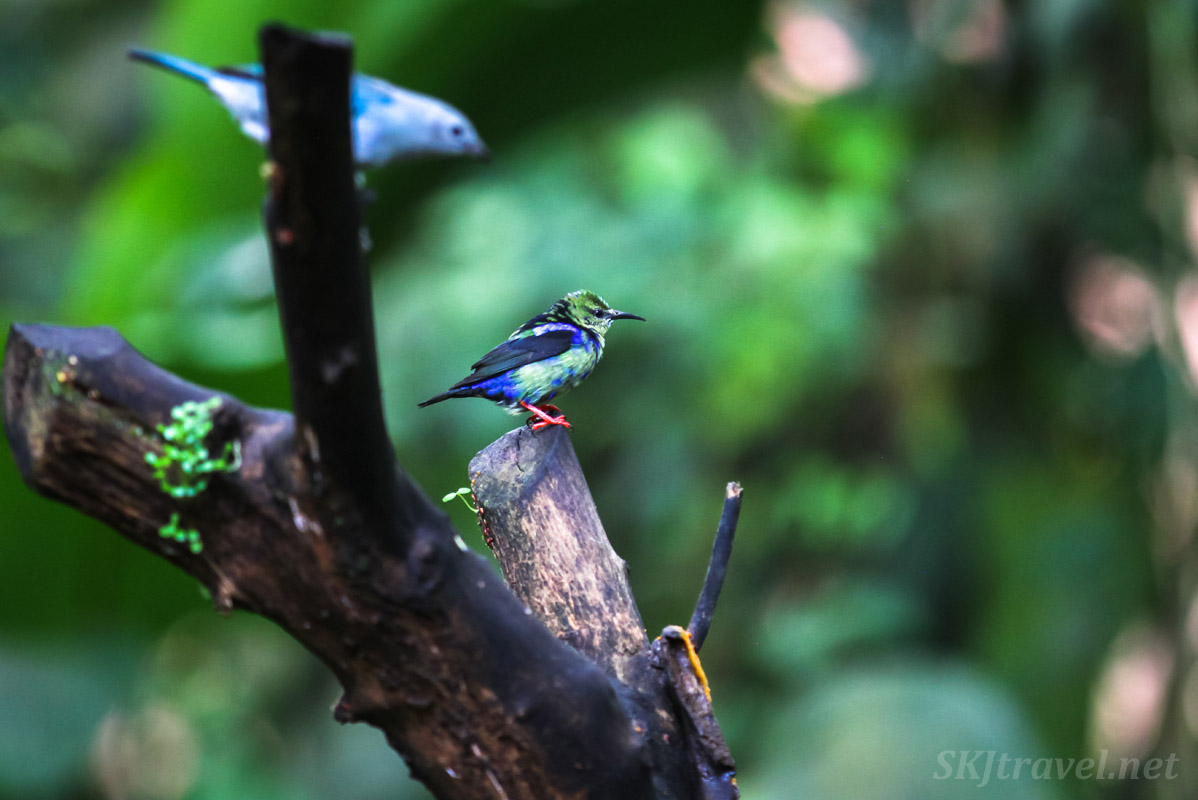Juvenile red legged honeycreeper, sitting on a tree branch. La Fortuna, Costa Rica.