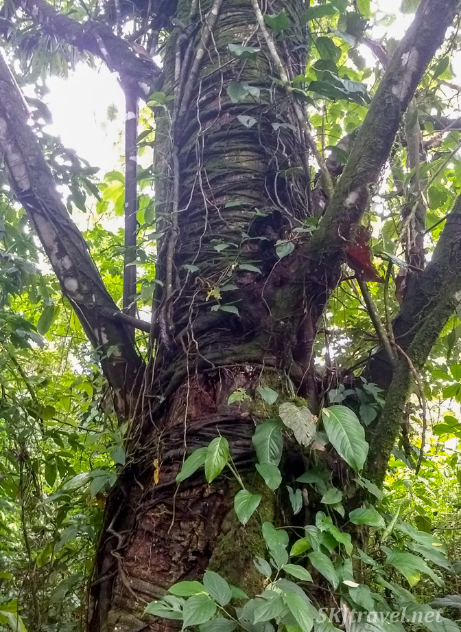 Tree strangled with vines wrapped all up its trunk. Bogarin Trail, La Fortuna, Costa Rica.