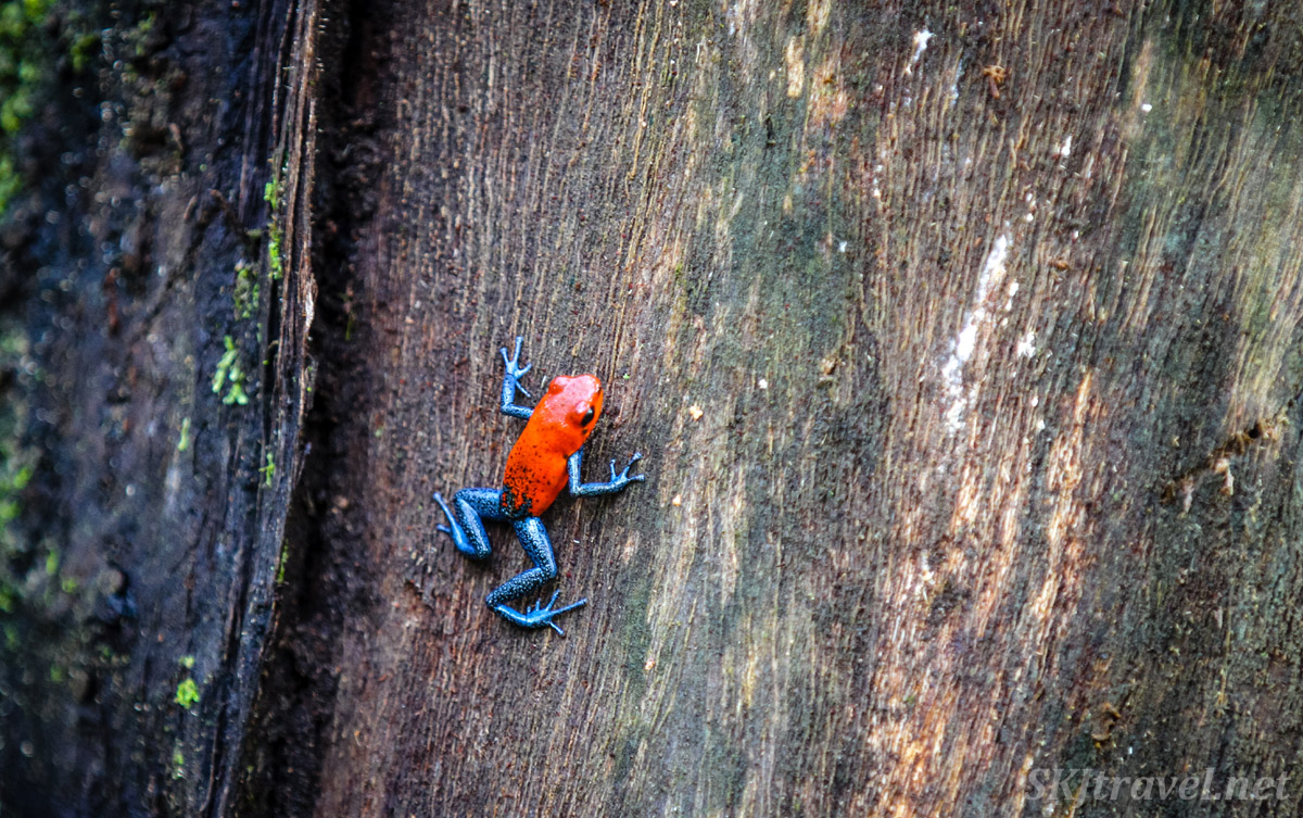 Poison dart frog, bright red and blue, climbing up on a tree trunk. In the rainforest near La Fortuna, Costa Rica.