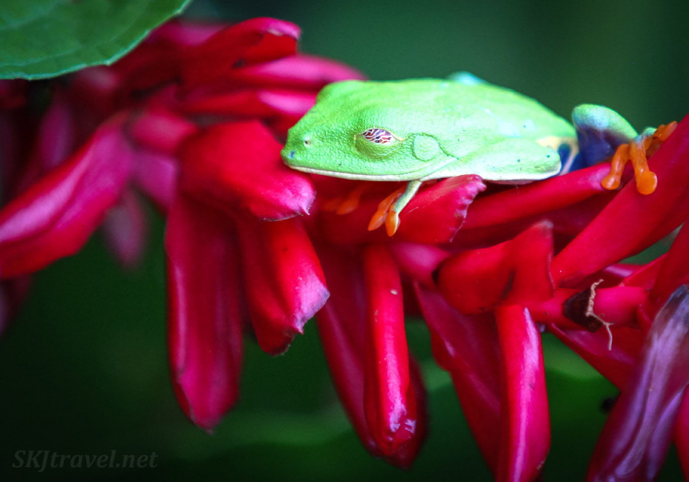 Red-eyed leaf frog with a nictitating membrane closed over its eyeball. Costa Rica national frog. Near La Fortuna.