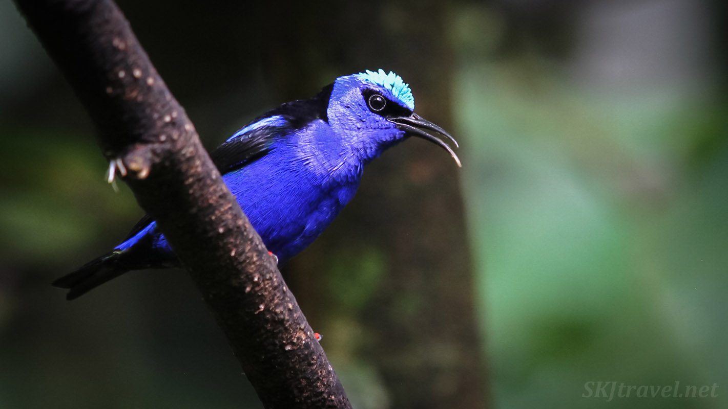 Red legged honeycreeper sitting on a branch singing. La Fortuna, Costa Rica.