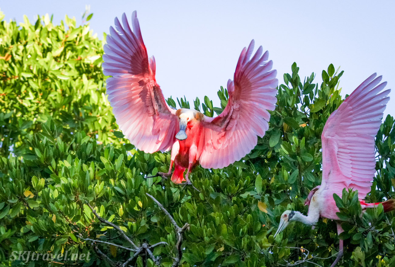 Roseate spoonbill preparing to fly from a tree top, wings fully expanded upward, early morning on Popoyote Lagoon crocodile reserve, Playa Linda, Ixtapa, Mexico.