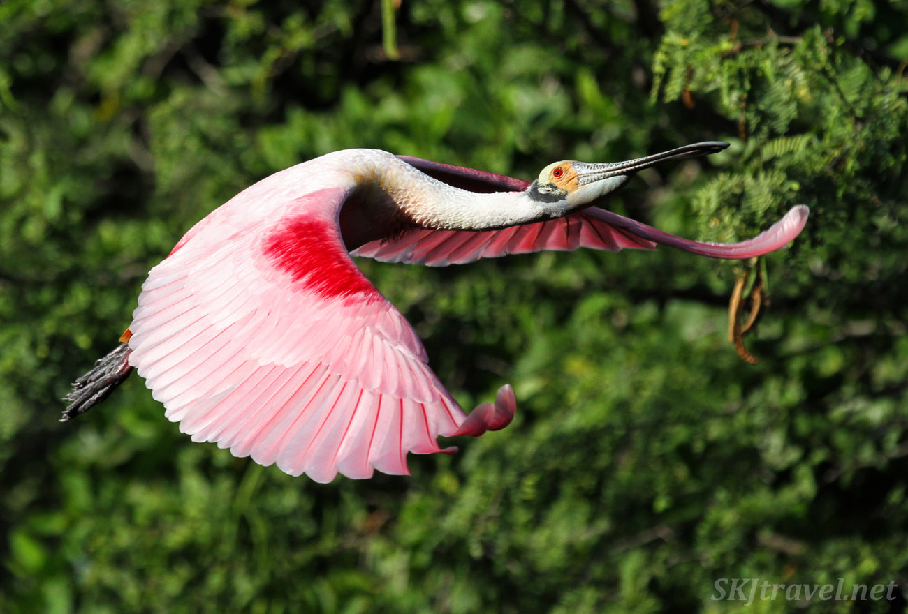 Roseate spoonbill in flight, wings fully expanded flapping downward. Popoyote Lagoon crocodile reserve, Playa Linda, Ixtapa, Mexico.