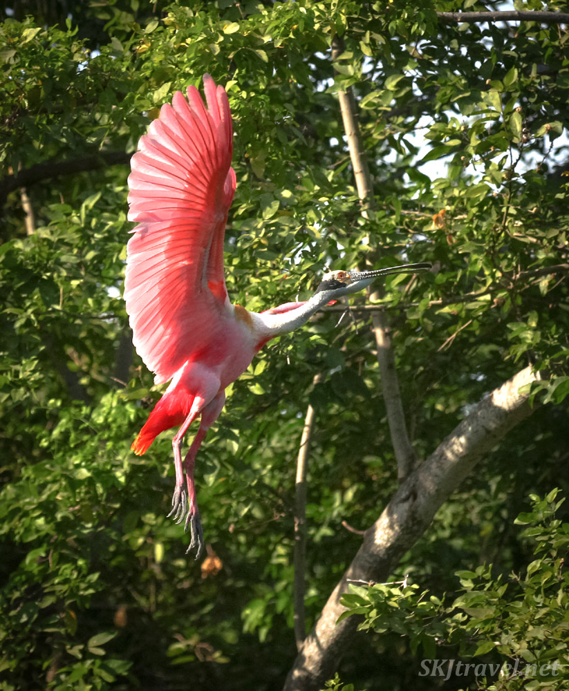 Roseate spoonbill coming in for a landing in dense trees, wings fully expanded upward, in Popoyote Lagoon crocodile reserve, Playa Linda, Ixtapa, Mexico.
