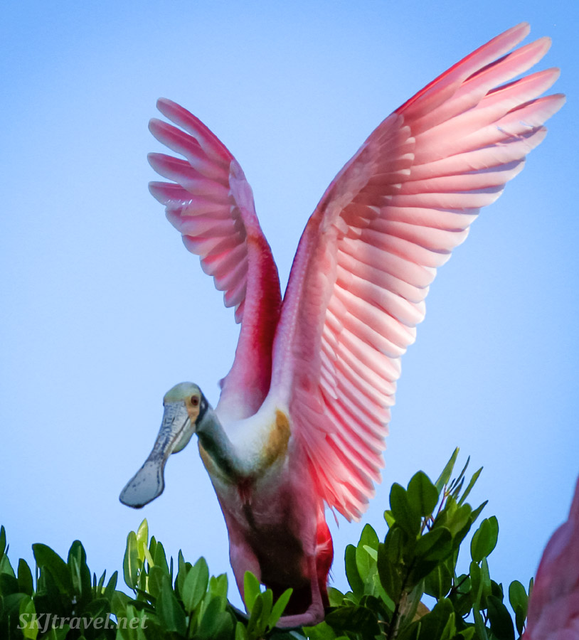 Roseate spoonbill landing on a tree top, wings fully expanded upward in the morning light. Popoyote Lagoon crocodile reserve, Playa Linda, Ixtapa, Mexico.