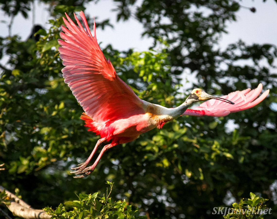 Roseate spoonbill flying between trees, wings fully expanded outward, in Popoyote Lagoon crocodile reserve, Playa Linda, Ixtapa, Mexico.