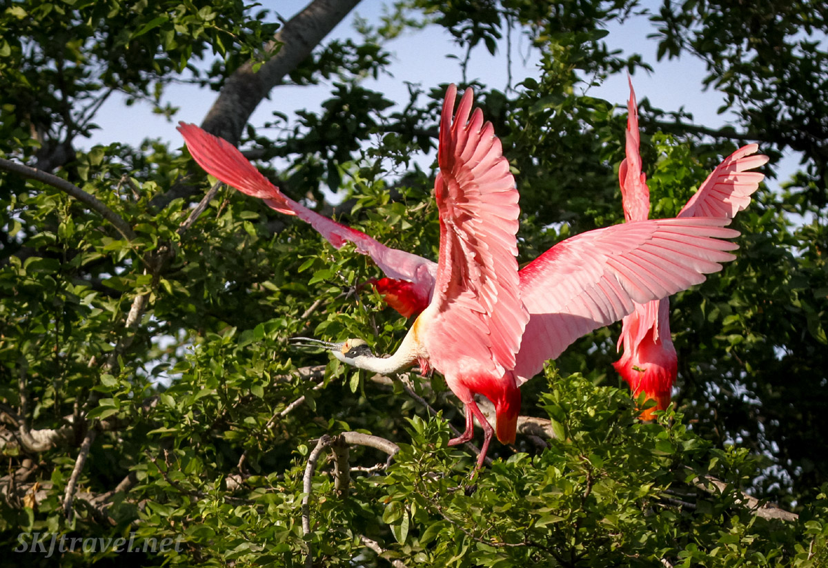 Three roseate spoonbills with wings up, standing on the top of a tree, in Popoyote Lagoon crocodile reserve, Playa Linda, Ixtapa, Mexico.