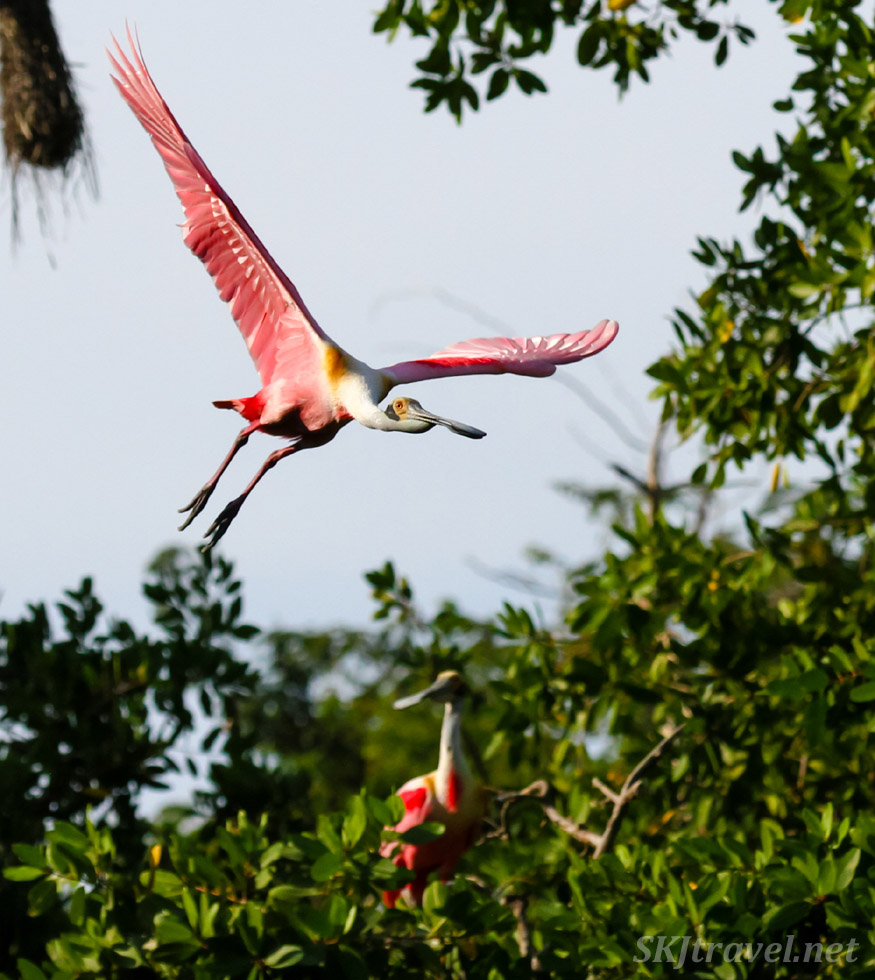 Roseate spoonbill flying overhead, coming in for a landing at Popoyote Lagoon crocodile reserve, Playa Linda, Ixtapa, Mexico.