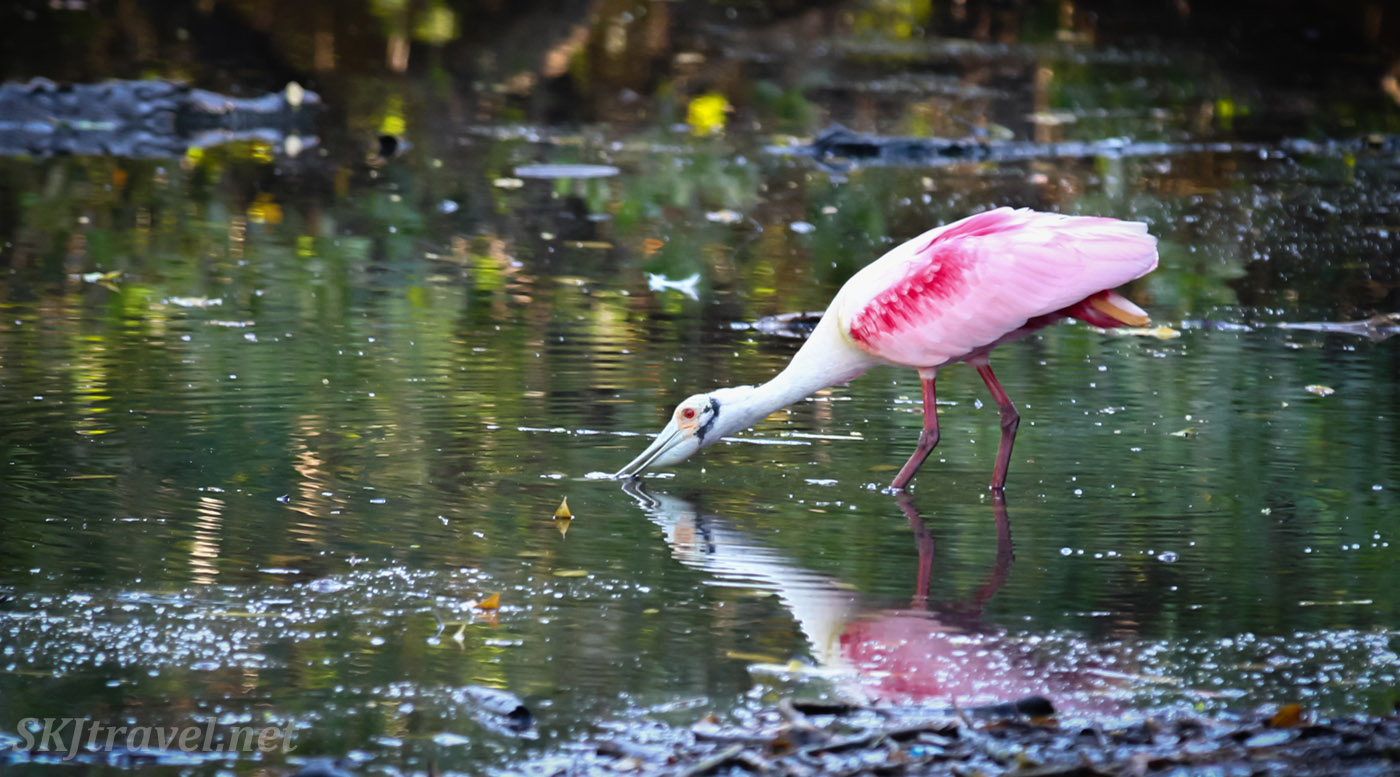 Roseate spoonbill standing in the still water at Popoyote Lagoon crocodile reserve, Playa Linda, Ixtapa, Mexico. Crocs lurking in the water.