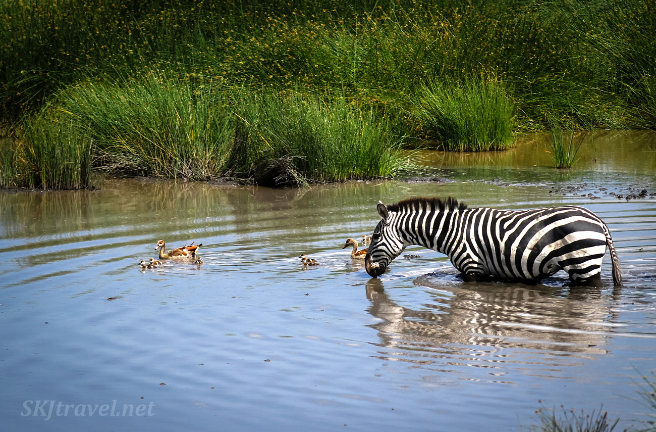 Zebra with ducklings in the water. Ndutu, Tanzania.