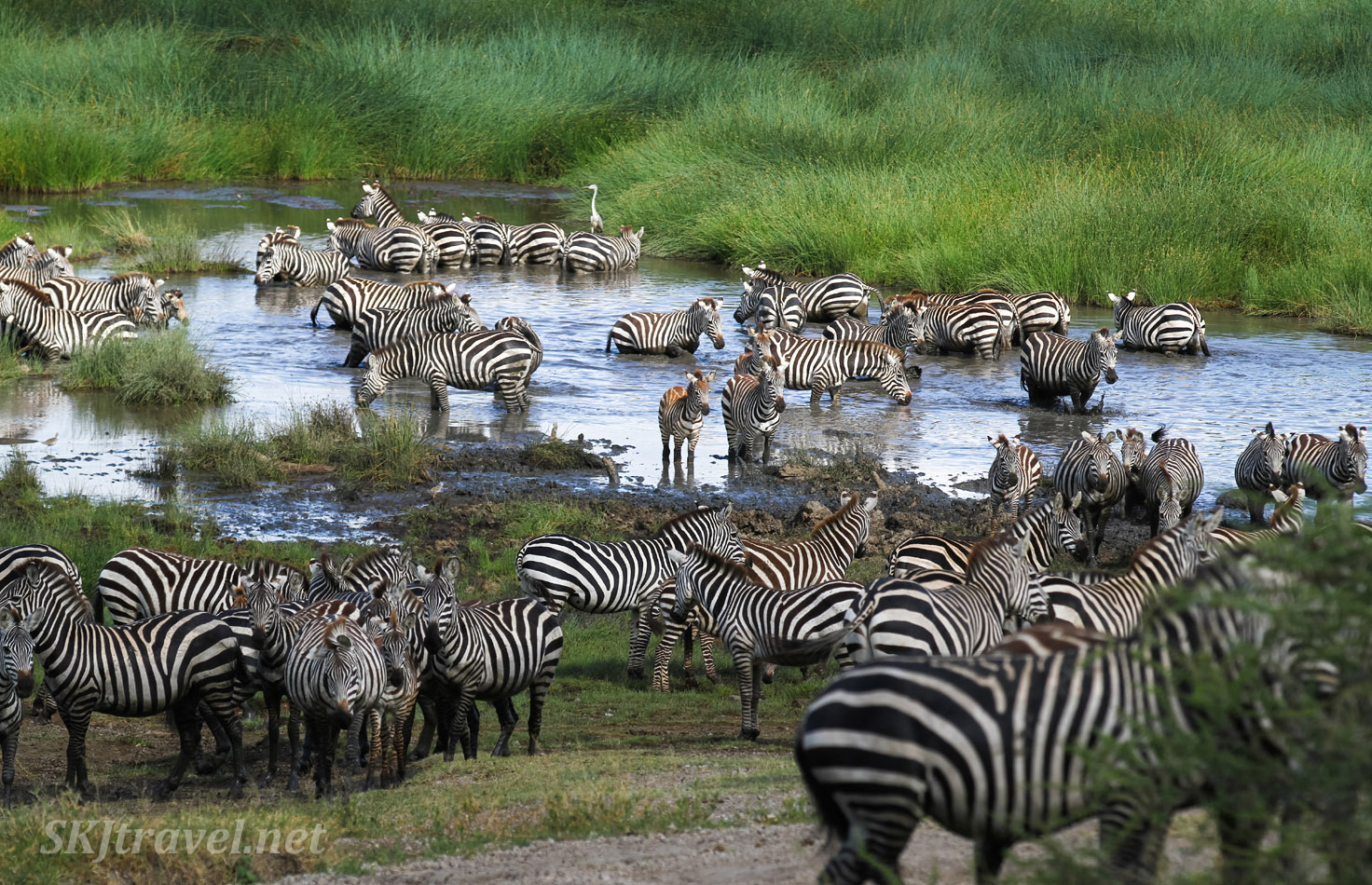 Zebras crossing water in a marsh in Ndutu, Tanzania.