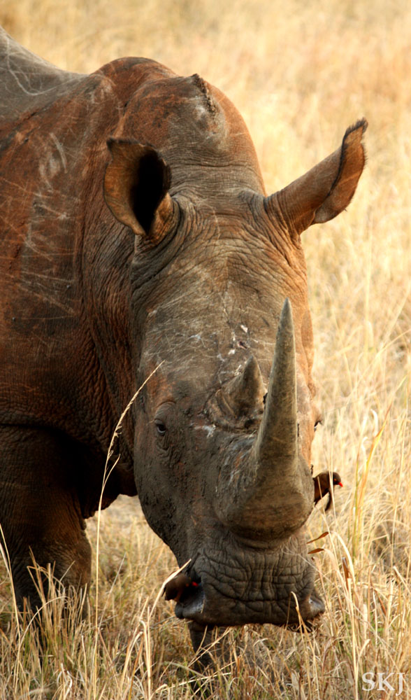White rhino at close range. Hluhluwe-iMfolozi National Park, South Africa.