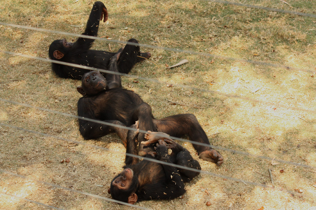 Chimpanzees playing together at Chimp Eden sanctuary, South Africa.